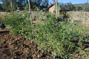 Low watered Tomatoes