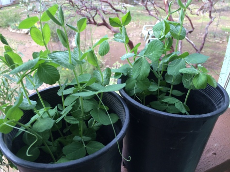 """Sugar Snap Peas ready to plant:"