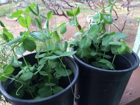 """Sugar Snap Peas ready to plant:"